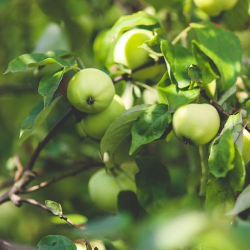 Apple Green Fragrant Oil