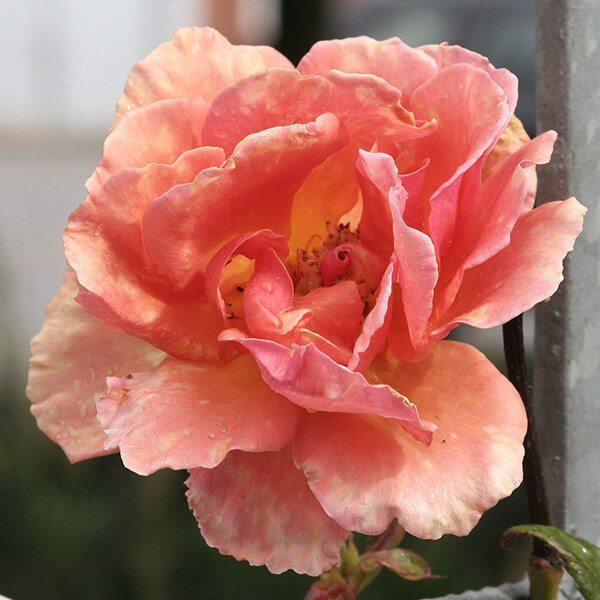 Carnation Egypt