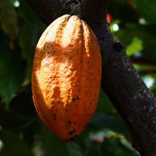 Cocoa Organic Butter