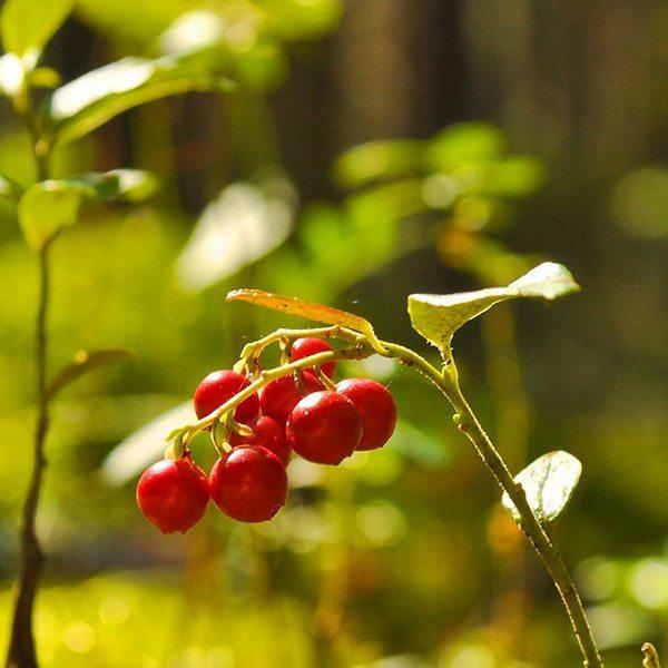 Cranberry Peach Vanilla Fragrant Oil
