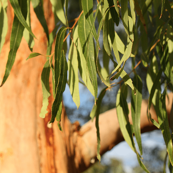 Eucalyptus Spearmint Fragrant Oil