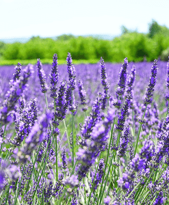 French Lavender Fragrant Oil