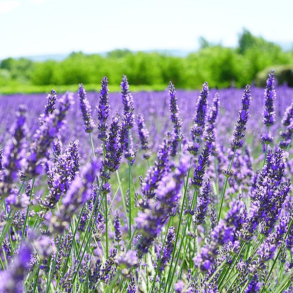 French Lavender Fragrant Oil