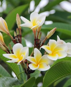 Hawaiian Plumeria Fragrant Oil