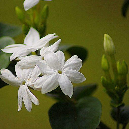 Jasmine Fragrant Oil