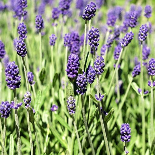Lavender (Bulgarian) 600x600