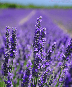 Lavender Fragrant Oil