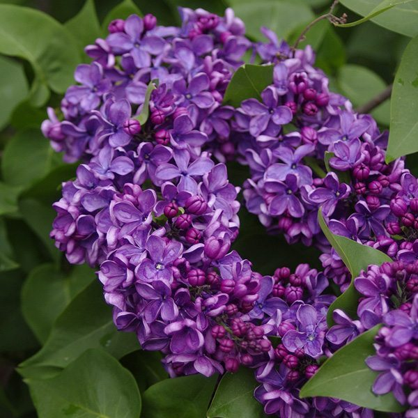 Lilac & Lilies Fragrant Oil