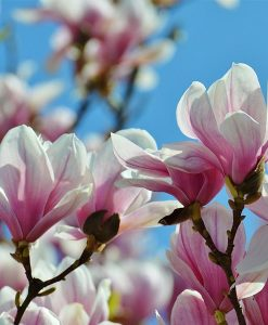 Magnolia Fragrant Oil