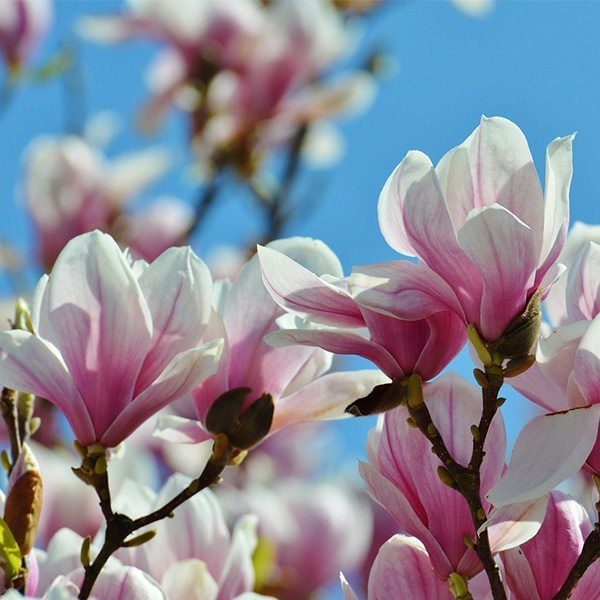 Magnolia Fragrant Oil