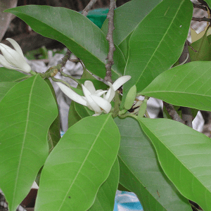 Michelia Alba Essential Oil