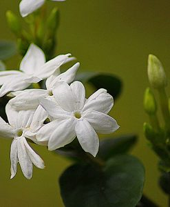 Midnight Jasmine Fragrant Oil