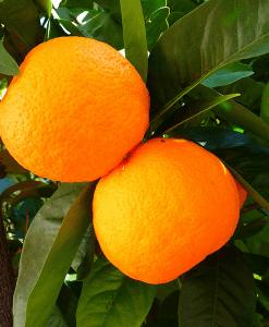 Orange Ginger Fragrant Oil