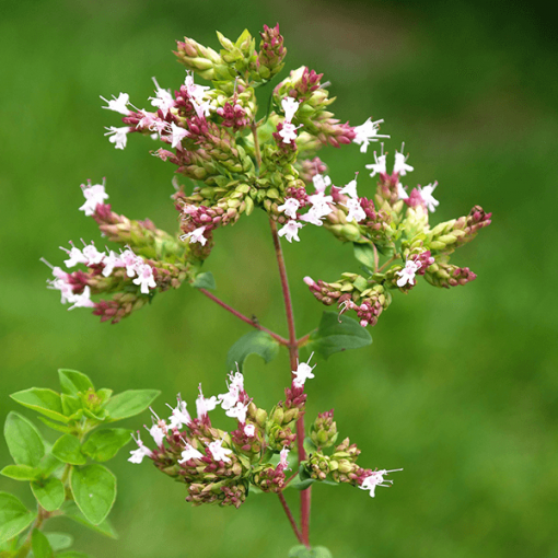 Origanum Vulgare Essential Oil