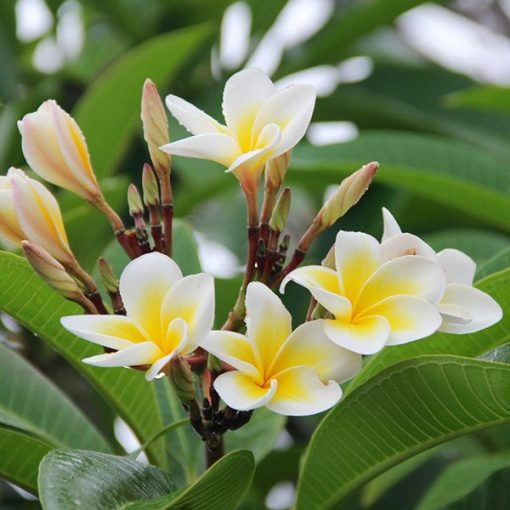 Plumeria Fragrant Oil
