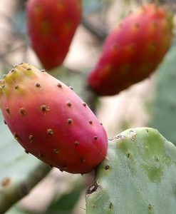 Prickly Pear Organic Carrier Oil