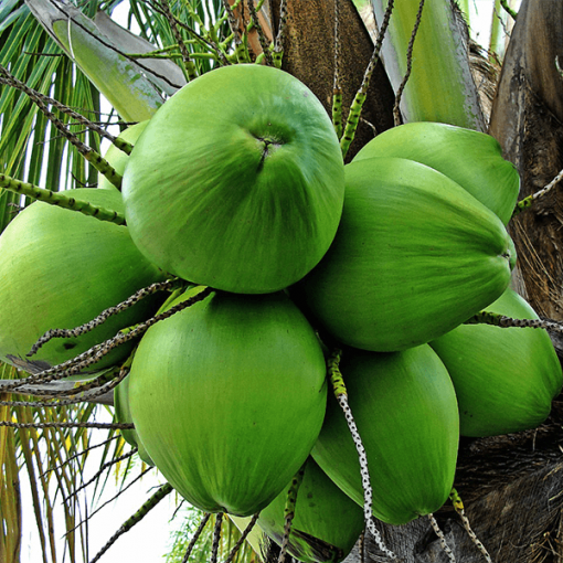 Coconut (Virgin)