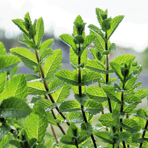 Peppermint (Supreme) Essential Oil