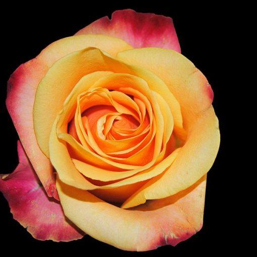Rose Garden Fragrant Oil