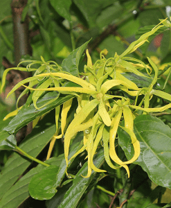 Ylang Ylang Fragrant Oil
