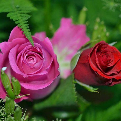 Rose Bloom Fragrant Oil