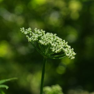 Angelica Root (CO2 Extraction) Essential Oil