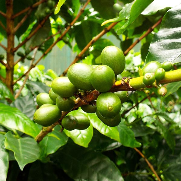 Coffee Essential Oil - Green