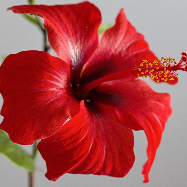 Hibiscus Carrier Oil