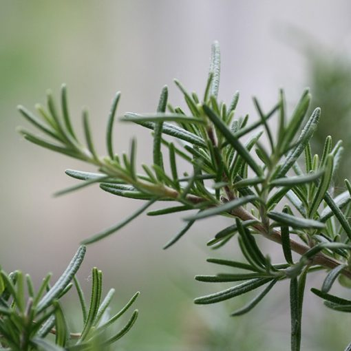 Rosemary (Tunisia) Organic Essential Oil